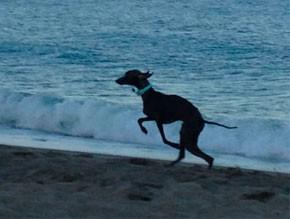galgo-jugando-en-playa